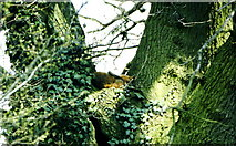 ST8180 : Fox in Tree, nr Acton Turville, Gloucestershire 1995 by Ray Bird