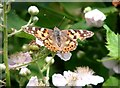 TG2408 : Painted Lady butterfly (Vanessa cardui) on bramble flower by Evelyn Simak