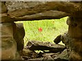 SK2472 : Solitary poppy viewed through a hole in the wall by Graham Hogg