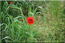 TA1502 : Wild poppy by Grimsby Road, Cabourne Parva by David Howard