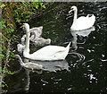 NS5669 : Swan Family by Anne Burgess