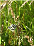 TQ1450 : Marbled White butterfly (Melanargia galathea) by Stefan Czapski