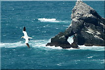 HP5917 : Gannet (Morus bassana) passing Burra Stack, Hermaness by Mike Pennington