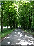 SO5563 : The Avenue at Leysters, near Leominster, Herefordshire by Peter Evans