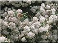 NX5056 : Olearia macrodonta at Bagbie Sheds by M J Richardson