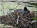 SO8991 : Coot Chick by Gordon Griffiths
