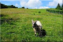 H4180 : Tame sheep, Gortinagin by Kenneth  Allen