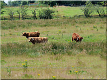 SD7909 : Cattle Grazing, Old Hall Farm by David Dixon