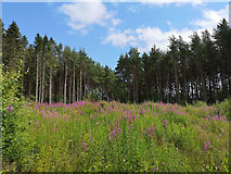 NH6454 : Clear fell woodland two years on, Tullich Wood by Julian Paren