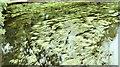 J3067 : Grass in the River Lagan at the Drum Bridge, Dunmurry (July 2019) by Albert Bridge