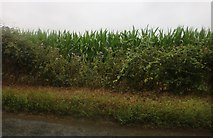 TM4574 : Maize by The Street, Blythburgh by David Howard