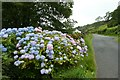 NY4103 : Hydrangeas in Troutbeck by DS Pugh