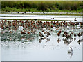 SO7204 : Waders on the South Lake at Slimbridge by David Dixon