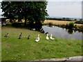 SO5119 : Waterfowl at the edge of Treworgan Farm pond near Llangrove, Herefordshire by Jaggery