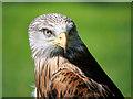 SO7023 : Red Kite (Milvus milvus) by David Dixon