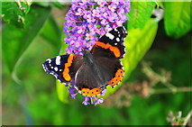 ST8180 : Red Admiral Butterfly, Acton Turville, Gloucestershire 2019 by Ray Bird