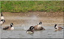 ST8083 : Canada Geese, Badminton Lake, Badminton, Gloucestershire 2019 by Ray Bird