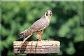 SO7023 : Young Peregrine Falcon (Falco peregrinus) at ICBP by David Dixon