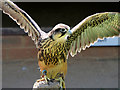 SO7023 : Lanner Falcon (Falco biarmicus) on the Hawk Walk at ICBP by David Dixon
