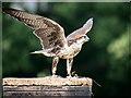 SO7023 : Lugger Falcon (Falco jugger) at ICBP by David Dixon