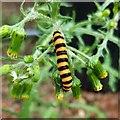 SO7119 : Cinnabar Moth caterpillar by Jonathan Billinger