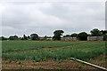 TM2744 : Waldringfield: a fine crop of onions by John Sutton