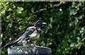 H4572 : Magpie, Lisnamallard by Kenneth  Allen