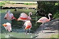 SH8378 : A colony, stand, regiment or flamboyance of Chilean flamingos by Richard Hoare