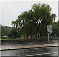 ST2985 : Weeping willows at the southern edge of Tredegar Park, Newport by Jaggery