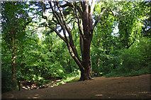 TQ3472 : Cedar of Lebanon, Sydenham Hill Wood by Ian Taylor