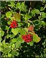 TQ0852 : Berries of the wayfaring tree, early August by Stefan Czapski