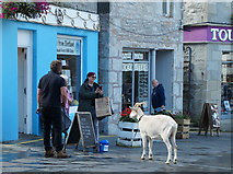HU4741 : Connor the Goat on Commercial Street, Lerwick by Mike Pennington