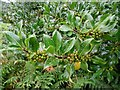 SO7744 : Green holly  berries by Philip Halling