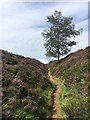 SK2580 : Solitary tree in a hollow way by Graham Hogg