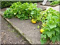 SE8675 : Squashes in the vegetable garden by Oliver Dixon