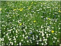 SO9422 : Daisies and other wild flowers by Philip Halling