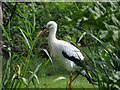 SD4314 : White Stork at Martin Mere by David Dixon