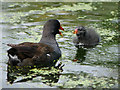SD4314 : Adult and Juvenile Moorhen at Martin Mere by David Dixon