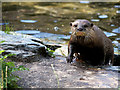 SD4214 : Otter at Martin Mere Wetland Centre by David Dixon