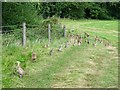 SK2735 : Pheasants at Daysclose Plantation by Ian Calderwood