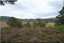 NH8421 : Pine and Heather by Anne Burgess