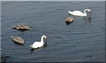 NS3174 : Swans at Port Glasgow by Thomas Nugent