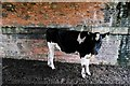 SJ5360 : Calf in an underpass by Jeff Buck