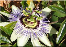 TG2308 : Passion flower (Passiflora sp) by Evelyn Simak