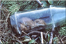 ST8180 : Weasel in discarded bottle, nr Acton Turville, Gloucestershire 1986 by Ray Bird