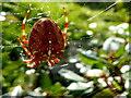 H4672 : Common garden spider, Campsie, Omagh by Kenneth  Allen