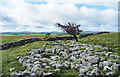 SD7965 : Limestone pavement with lone tree by Trevor Littlewood
