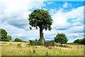 SJ8308 : Son of Royal Oak and baby oak at Boscobel House by Jeff Buck