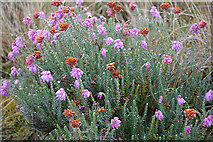 NJ1420 : Cross-leaved Heath (Erica tetralix) by Anne Burgess