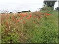 TG3905 : Poppies on a field margin by Eirian Evans